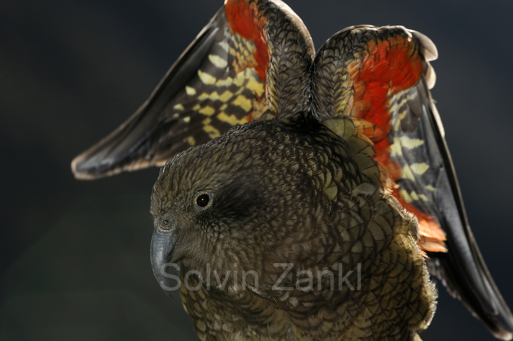 Kea (Nestor notabilis) Arthur's Pass, New Zealand | Kea oder Bergpapagei (Nestor notabilis) - Die leuchtenden bunten Federn der Keas auf der Unterseite der Flügel dienen als Signalfarbe. Arthur's Pass, Neuseeländische Alpen, Neuseeland.