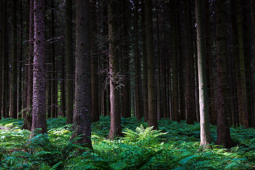Woodland scene and ancient forest of tall trees and ferns create light and shade dappled sunlight in Denmark