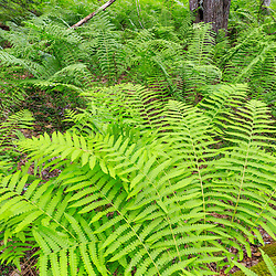 Ostrich ferns carpet the forest floor at the Stonehouse Forest in Barrington, New Hampshire.