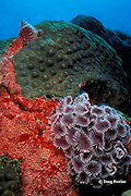 social feather duster worms, Bispira brunnea, on red encrusting sponge, Monanchora barbadensis, Saint Vincent or St. Vincent, West Indies ( Caribbean Sea )