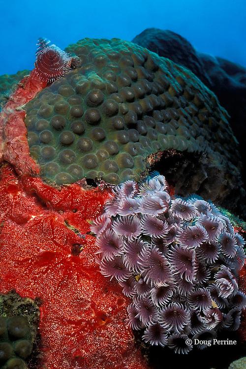 social feather duster worms, Bispira brunnea, on red encrusting sponge, Monanchora barbadensis, Saint Vincent or St. Vincent, West Indies ( Caribbean Sea )