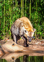 A Hyena Approaches a pool of water looking for a drink