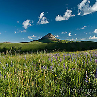 summer wildflowers near haystack butte rocky mountain front