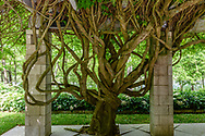 Wisteria Tree, Garden of Arne and Milly Glimche, Georgica Close Rd, East Hampton, NY, Parrish Art Museum Landscape Pleasure 2017 garden tour
