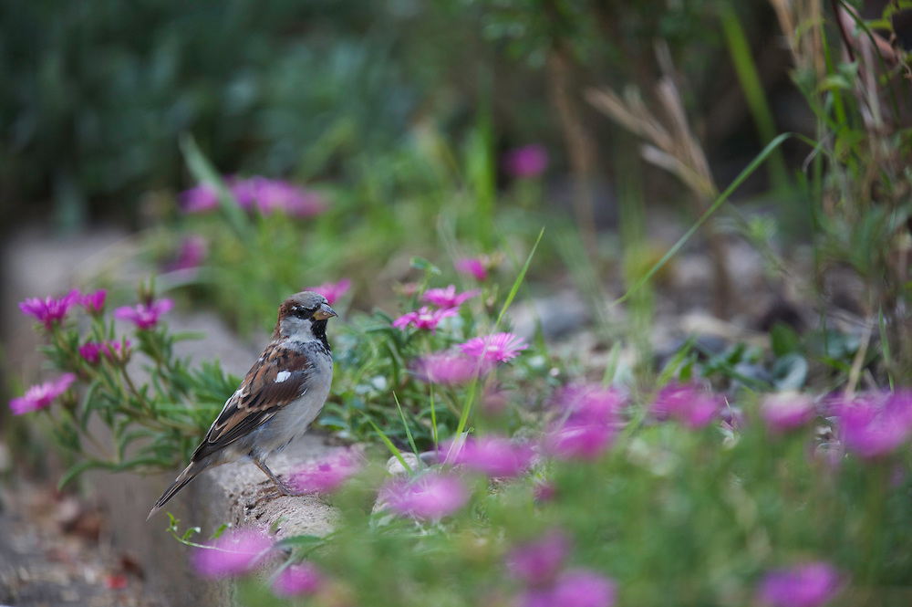 Male House Sparrow (Passer domesticus) among garden flowers in Sentes des Enghardes in Pont-du-Chateau, Auvergne, France.