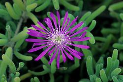 Flower, Tucson Botanical Gardens