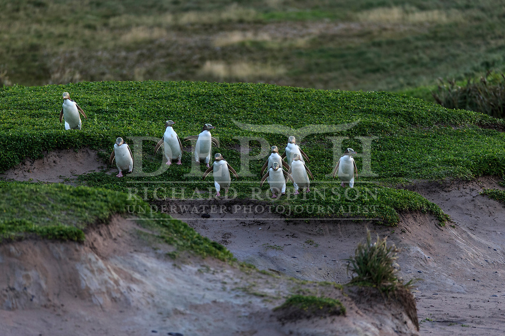 Megadyptes antipodes (Yellow eyed penguin) head to sea at dawn to forage for food at Sandy Bay, Enderby Island, Auckland Islands, New Zealand.<br /> 09 January 2016<br /> Photograph Richard Robinson &copy; 2016