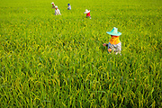 12 OCTOBER 2012 - NAKHON CHAI SI, NAKHON PATHOM, THAILAND: Workers check the growth of rice in a field near Nakhon Chai Si, Nakhon Pathom province, Thailand. Thailand's ruling Pheu Thai party and the government has launched a controversial program to increase the price farmers get for their rice. Under the program, the government guarantees farmers a minimum of $500 (US) per ton for their rice. The rice is then stockpiled by the government for sale at a later date. Critics assail the program as an economic boondoggle and improper manipulation of the market. The government says it's necessary to protect the country's rice farmers and the program is very popular with Thailand's rice growers, who are primarily located in central Thailand, where the ruling Pheu Thai party is weakest. Thailand is the world's leading rice exporter, but that title has been threatened recently by Vietnam, which is dramatically increasing rice production.    PHOTO BY JACK KURTZ