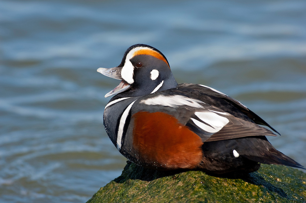 Harlequin Duck, Histrionicus histrionicus, male, yawning, Barnegat Light, New Jersey
