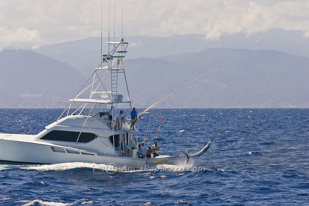 Blue Marlin jumping on the wire behind the Hatteras boat Reel Easy.  This action takes place off the North coast of Venezuela.