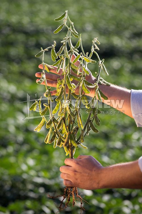 Agricultor inspeciona vagem em lavoura de soja, em Campo Mourão no Paraná. FOTO: Jefferson Bernardes/ Agência Preview