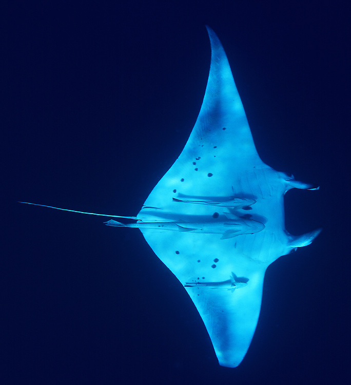 Alfred Manta (Manta alfredi). Location: The Red Sea