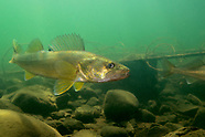 Walleye, Underwater