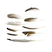 Seabird feathers found on the beaches of Mount Desert Island, Maine