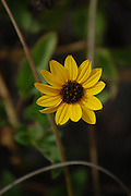 This is a Narrow-Leaved Sunflower.  Along the Path was taken on Sanibel, Florida.