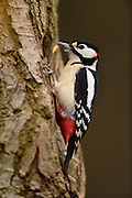 Great Spotted Woodpecker (Dendrocopos major), The Biosphere Reserve 'Niedersächsische Elbtalaue' (Lower Saxonian Elbe Valley), Germany | Buntspecht (Dendrocopos major) Niedersächsische Elbtalaue, Deutschland