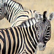 Herd of Burchell´s zebras in Etosha wildpark, Okaukuejo waterhole. Namibia