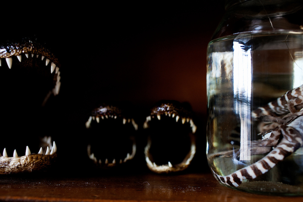 Mounted alligator heads and underdeveloped gators in a jar of formaldehyde decorate a display case at Daneco Alligator Farm in Houma, Louisiana on Thursday, February 18, 2010.