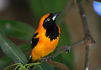 Portrait of an orange-backed troupial, Icterus croconotus, in the Pantanal region of Brazil.