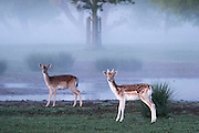 UNITED KINGDOM, London: 13 May 2015 A couple of Fallow Deer stand in front of a foggy Richmond Park, London this morning. Although it was a cold start to the day, temperatures are set to get up to 20C. Rick Findler  / Story Picture Agency