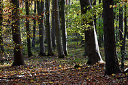 Autumn Beech, Stoke woods, Oxfordshire