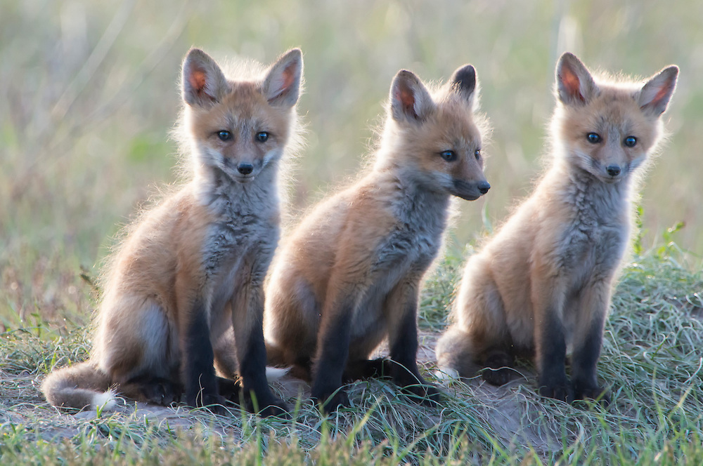 Three red fox kits sit together near their den site while waiting for a parent to arrive with food, Missoula, Montana