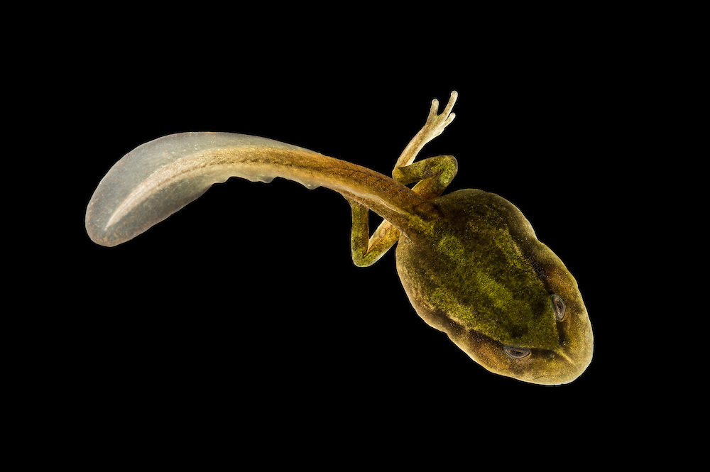 Andean Marsupial tree frog(Gastrotheca riobambae) tadpole<br /> CAPTIVE<br /> Central & north Ecuador<br /> ECUADOR. South America<br /> Threatened species due to habitat loss<br /> RANGE: Ecuador<br /> Andean & inter andean valleys north & central Ecuador. 2,200-3,500m.<br /> Endangered declining populationAndean Marsupial tree frog (Gastrotheca riobambae) tadpole<br /> CAPTIVE<br /> Central & north Ecuador<br /> ECUADOR. South America<br /> Threatened species due to habitat loss<br /> RANGE: Ecuador<br /> Andean & inter andean valleys north & central Ecuador. 2,200-3,500m.<br /> Endangered declining population