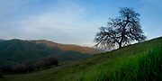 A great oak tree stands alone on a California Central Coast hillside in early spring.