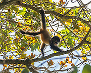 Juvenile spider monkey climbing and traveling in tree with skill and agility, Monteverde Cloud Forest. © 2016 David A. Ponton