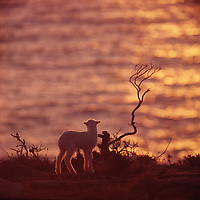 A lamb watches the sun set over the sea.
