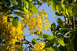 Cassia fistula, Golden Shower Tree #11