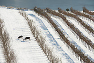Early snow covers Maryhill Vineyards in the Columbia Gorge, Washington