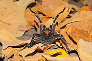 Black Tarantula Chaetopelma olivaceum is found throughout the middle east (including Cyprus) Photographed in Israel in October