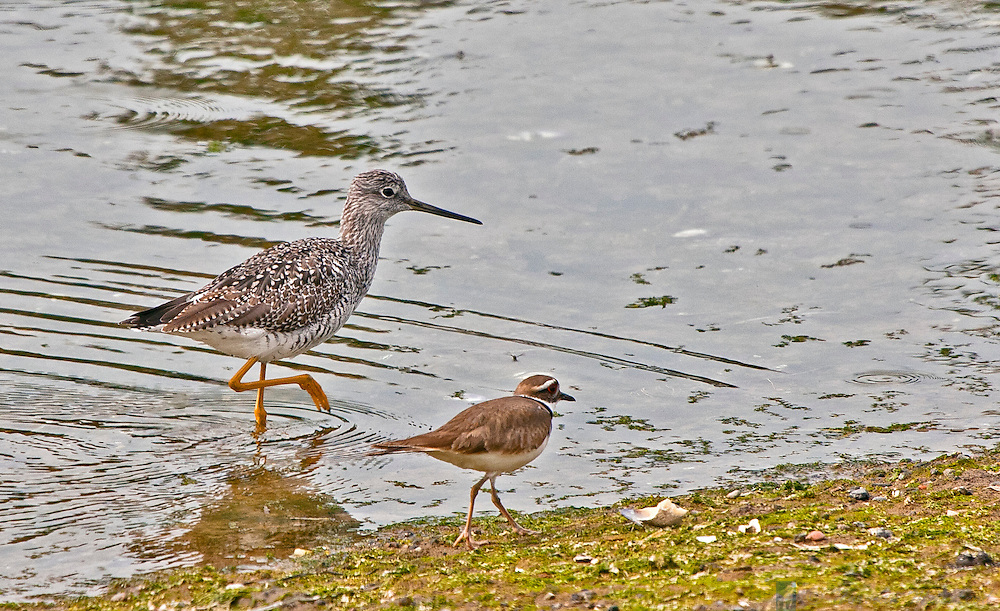 Stilt sandpiper and killdeer walking side by side along the Mystery Bay shoreline at Nordland, Marrowstone Island, Washington