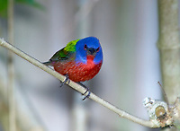 Painted Bunting (Passerina ciris),  Wellington, Florida, USA   Photo: Peter Llewellyn