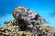 Reef or broadclub cuttlefish (sepia latimanus)  on coral reef  - Agincourt reef, Great Barrier reef, Queensland, Australia.