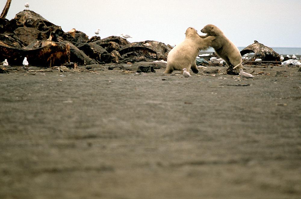 Barrow, Alaska. Two polar bears fighting over whale carcass on coastal beach of Barrow.