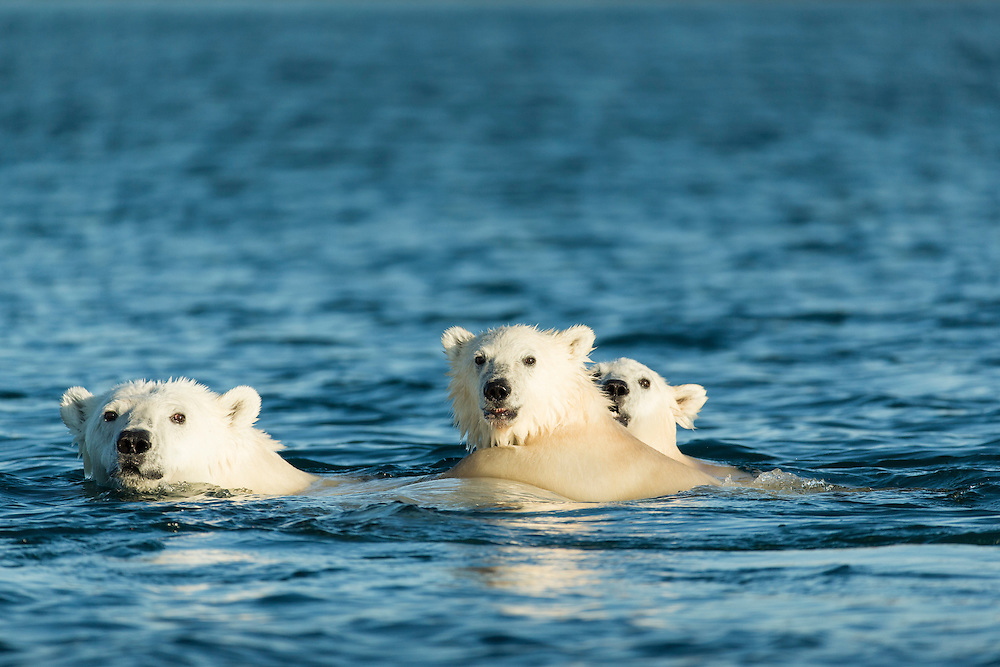 Canada, Nunavut Territory, Repulse Bay, Two Polar Bear Cubs (Ursus maritimus) swimming with mother near Harbour Islands along Hudson Bay
