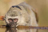 Vervet Monkey drinking from a waterhole, Zimanga Game Reserve, KwaZulu Natal, South Africa