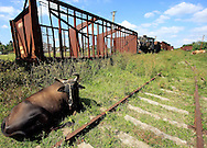 Cows and old steam trains in Cruces, Cienfuegos Province, Cuba.
