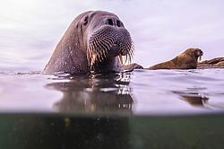 A close-up underwater split image of a walrus (Odobenus rosmarus) in the Arctic Ocean ,  Svalbard, Norway