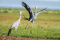 Blue Crane pair partaking in their pair bonding display dance, Overberg, Western Cape, South Africa