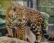 Jaguar at the San Diego Zoo (photographed through a fence)