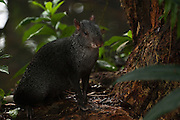 Black Agouti (Dasyprocta fuliginosa)<br /> Amazon Rain Forest. ECUADOR. South America<br /> Diurnal and terrestrial. Usually solitary or in pairs. The feed on fruit and nuts. These are the largest of the agoutis. When alarmed they stamp their feet and give a short series of grunts or whistlelike calls.<br /> HABITAT & RANGE: Found in mature and disturbed rainforest, deciduous forest and montane forest. Western Amazon Basin west of the Rios Negro and Madeira in Brazil, Venezuela, Colombia, Ecuador and Peru. To above 1,000 m in elevation.<br /> They are heavily hunted but persist near villages.