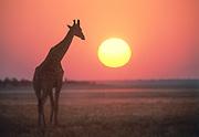 A Southern Giraffe (giraffa giraffa) walking on the dry winter plains near Namutoni at sunset. Etosha National Park, Namibia