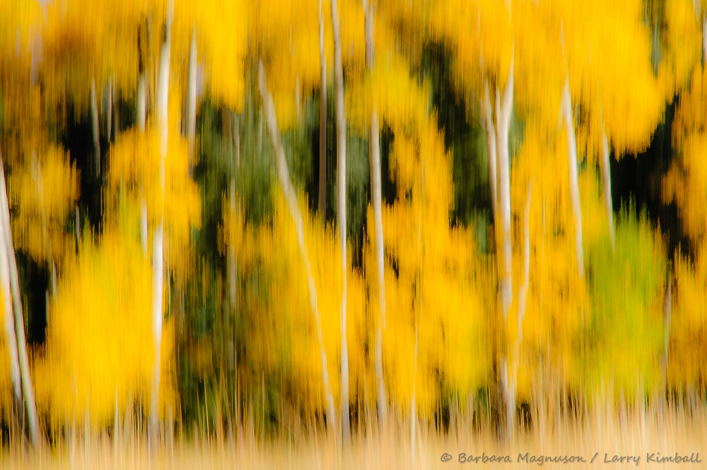 abstracted aspen trees in autumn color; Owl Creek Pass, CO
