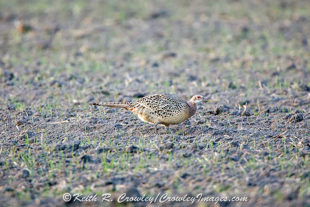 Hen pheasant in habitat