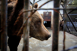 ROMANIA ONESTI 26OCT12 - A Eurasian brown bear pokes his nose through the rusty bars of its cage at the Onesti zoo.....The zoo has been shut down due to non-adherence with EU regulations on the welfare of animals...The bear was rescued from the decrepit Onesti Zoo where it lived for 8 years in degrading conditions......jre/Photo by Jiri Rezac / WSPA.....© Jiri Rezac 2012