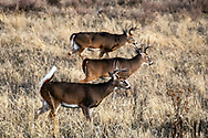 Three mature whitetail bucks in autumn habitat