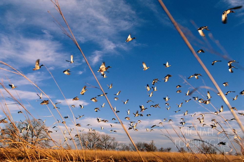 Mallard Ducks, Platte River valley, Nebraska.